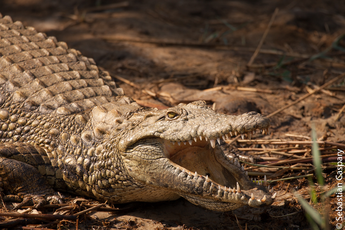 auch einen großen geschützten Bestand an Krokodilen gibt es in Saint Lucia.