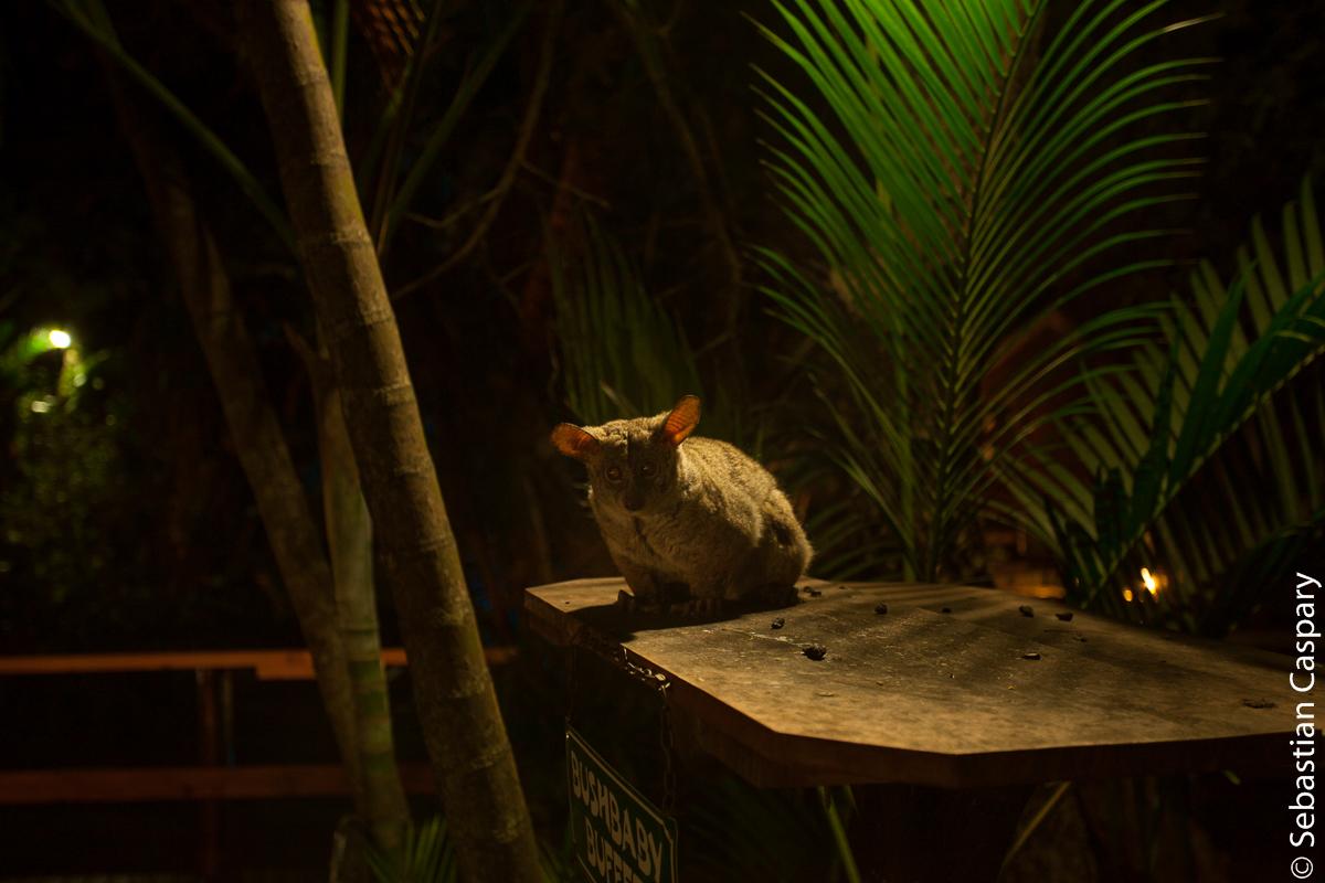Das Bushbaby wartet auf seine tägliche Fütterung.