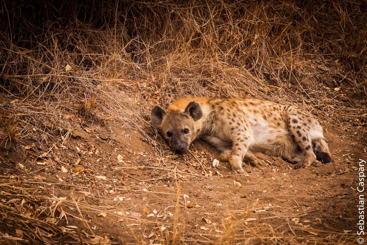 """Und noch eine Vertreterin der """"Ugly Five"""". Die Hyäne."""