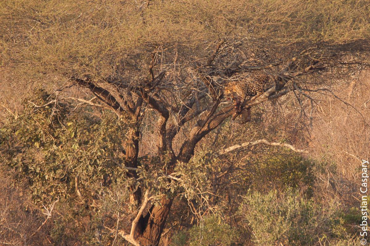 Ein absolutes Highlight ist immer die Sichtung eines Leoparden. Hier mit frischer Beute auf einem Baum. Leider hat sich die Szene sehr weit von der Straße abgespielt.
