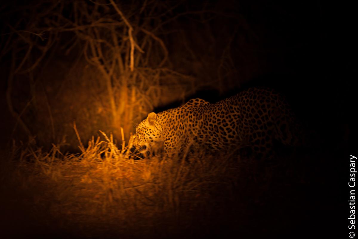 Bei der Nachtfahrt begegnen wir nochmal hautnah einem Leoparden.