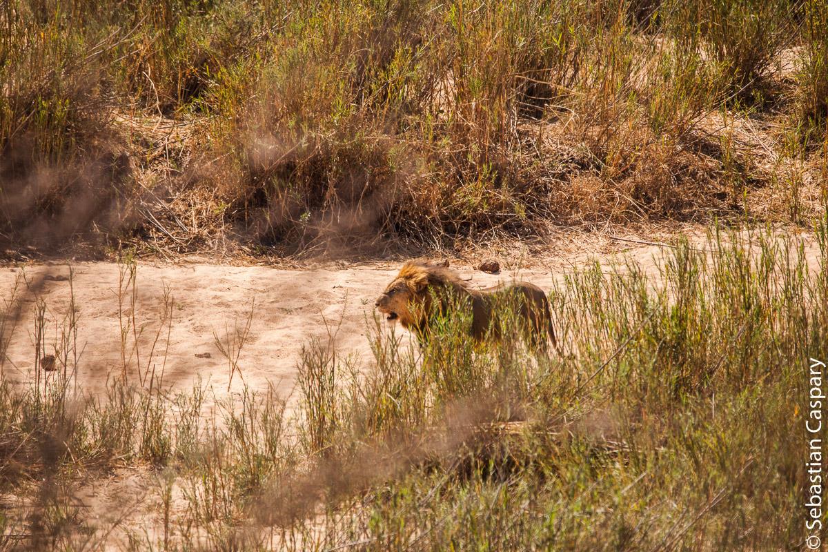 Ein männlicher Löwe. Garant für lange Autoschlangen im Krüger Nationalpark.