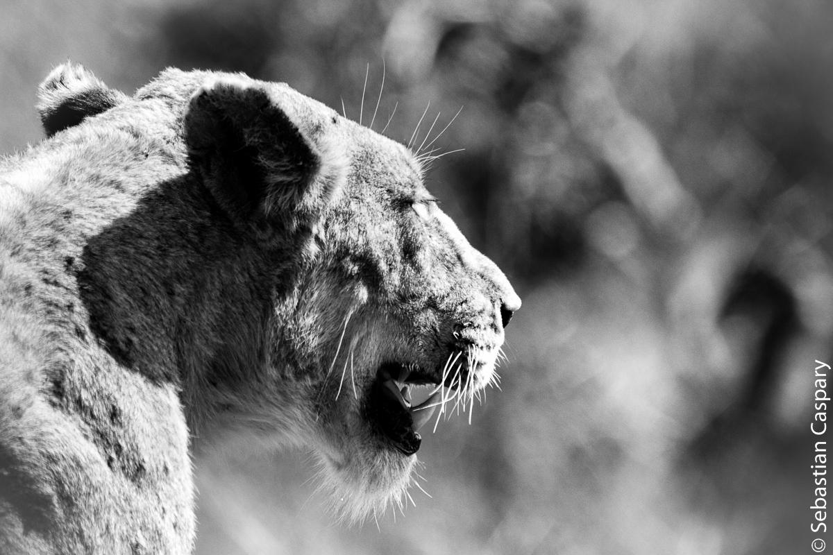 Die Löwin zeigt sich völlig unbeindruckt von der Autolawine und spaziert seelenruhig ein Auto vor uns durchs Bild. Herrlich.