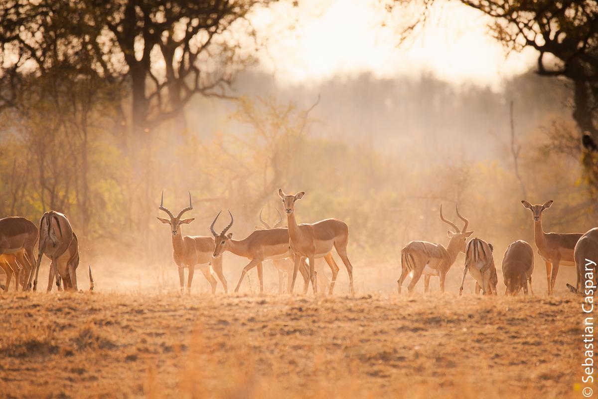 Die allgegenwärtigen Impala-Antilopen. Hier an einer Wasserstelle in den frühen Morgenstunden.