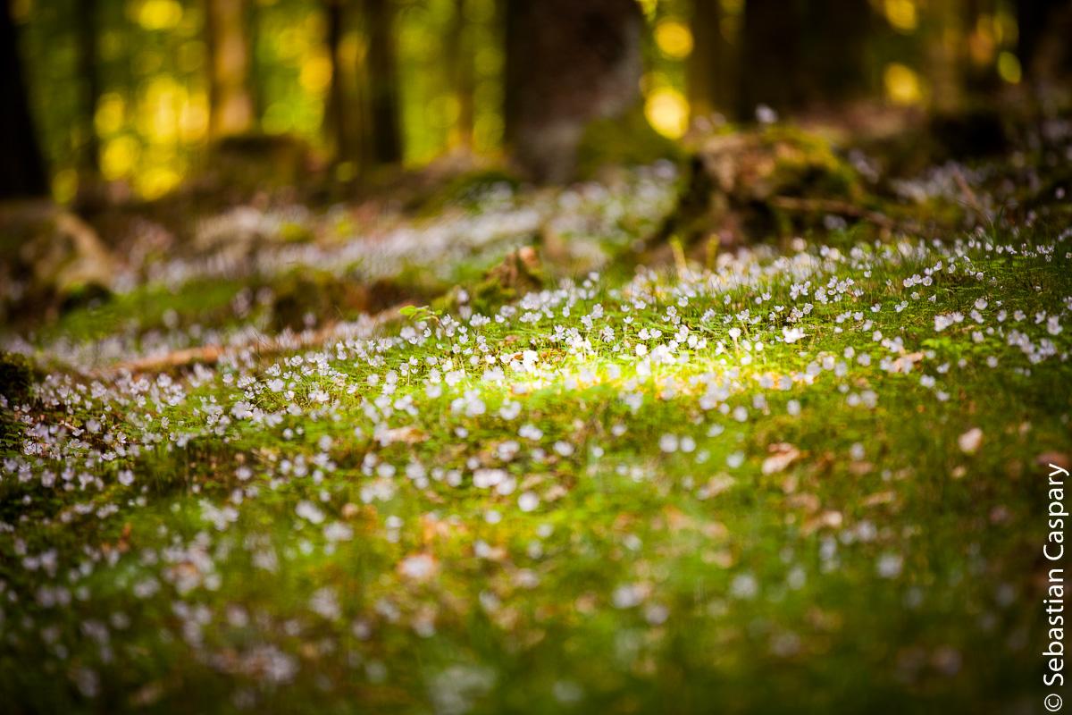 Teppich aus Waldsauerklee; bei Allenbach