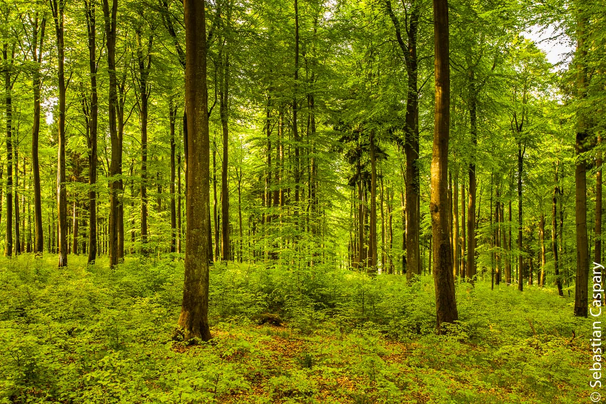 Frisches Grün im Buchwald bei Allenbach