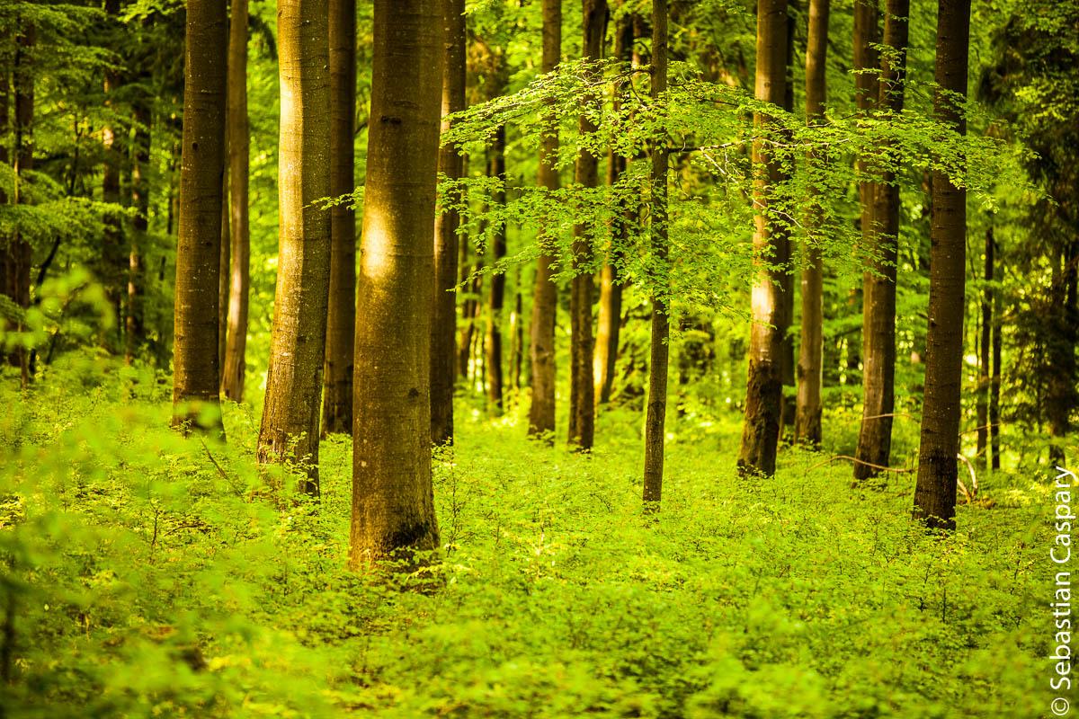 Frisches Grün im Buchwald; bei Allenbach