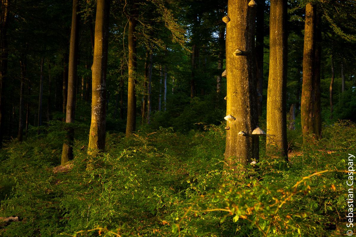 Buchen in der Abendsonne, Nähe Vorkastell Buhlenberg