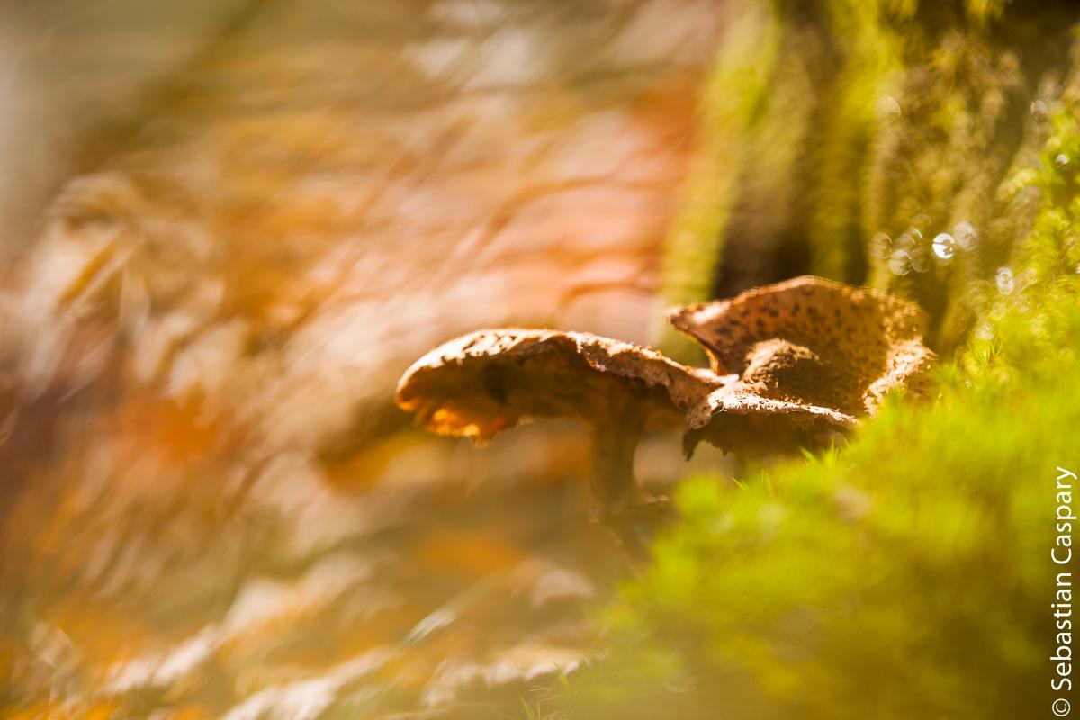 Waldpilze bei Börfink